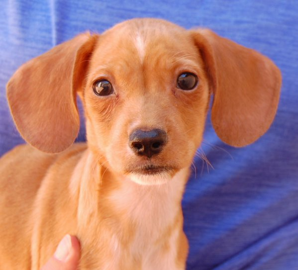 Anthony and his siblings are three-month-old dachshund-beagle mixes.