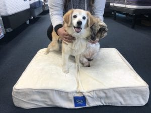 Rex the Shiatzu was adopted and we gave him a new pet bed. A gift from Best Mattress in Las Vegas supporting the NSPCA
