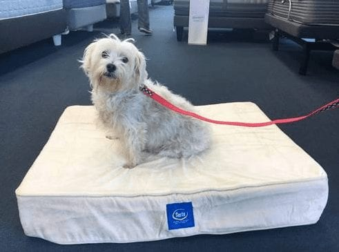Kiwi The Terrier adopted from the NSPCA and given a free pet bed from Best Mattress in Las Vegas